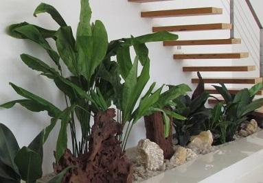 planta-Ciclanto